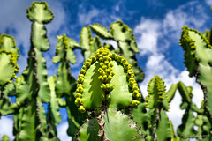 Euphorbia cooperi (NettyA) Tags: australia brisbane euphorbiacooperi euphorbiaceae mtcootthabotanicgarden qld queensland cactus flora flowers nature plants seqld