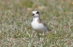 Greater Sand Plover  (Charadrius leschenaultii) (Ian N. White) Tags: greatersandplover charadriusleschenaultii rustdewinter limpopo southafrica