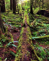 Mossy Tightrope (Pennan_Brae) Tags: moss green quiet peaceful nature trees tree forest