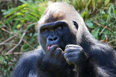 Breakfast - Western lowland gorilla (Gorilla gorilla gorilla) - Paignton Zoo, Devon - May 2019 (Dis da fi we) Tags: western lowland gorilla paignton zoo devon montane primary secondary forests swamps central africa angola cameroon african republic congo democratic equatorial guinea gabon