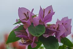 DELICATEZZA   ---   GENTLENESS (cune1) Tags: fiori flowers colori color natura nature macro africa costadavorio grandbassam