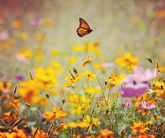 Week 37 Story Telling: Seasons (arlene sopranzetti) Tags: dogwood2019 butterfly monarch cosmos autumn seasons flowers field yellow orange insect gsp new jersey garden state parkway highway kenilworth flying amaro story beginnings nature
