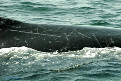 Got the scars to prove it (Johns Journeys) Tags: sea ocean waves colour blue green whales humpback scars gloucesterma capeann