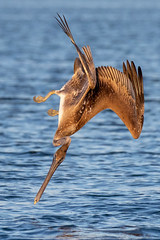 Brown Pelican Diving (dbadair) Tags: outdoor seaside dennis adair shore sea sky water nature wildlife 7dm2 7d ii ef100400mm ocean canon florida bird