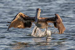 Brown Pelican Takeoff (dbadair) Tags: outdoor seaside dennis adair shore sea sky water nature wildlife 7dm2 7d ii ef100400mm ocean canon florida bird