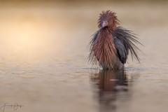 Reddish Egret (Frank Schauf Photography) Tags: animal bird egrettarufescens florida heron nordamerika northamerica reddishegret rötelreiher tier usa