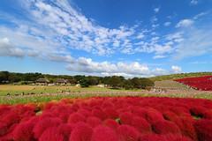 Kochia and autumn sky (sumi!) Tags: hitachiseasidepark ibaraki park japan hitachinaka autumn kochia summercypress clouds cloud bluesky sky red blue