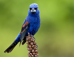 The Blue Dream (xrayman.dd) Tags: grossbeak bluegrossbeak birdsandanimals birds animals
