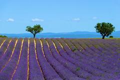 P1140699 (alainazer) Tags: valensole provence france fiori fleurs flowers fields champs ciel cielo sky colori colors couleurs lavande lavanda lavender arbre albero tree