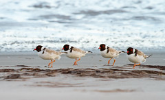 There's always someone out of step! (Geoffrey Walker) Tags: hoodedplover plover shorebird bird nature prosserriver tasmania