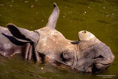 Black rhino (Diceros bicornis) - Diergaarde Blijdorp (Rotterdam/NL) (About Pixels) Tags: 0626 2019 aboutpixels blijdorpzoo holland mnd06 nikond7200 nl nederland netherlands nikon rotterdam rotterdamzoo summerseason zomerseizoen zuidholland collecties dierentuin fysiologie head june juni kop ledematen limbs nature natuur physiology zoo southholland diergaardeblijdorp fauna