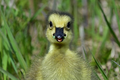 GoslingCutie1 (2)Smaller (Rich Mayer Photography) Tags: bird birds avian nature goose geese baby gosling animal animals fly flying flight wild life wildlife nikon