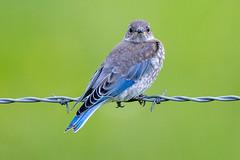 Mountain Bluebird (juv) (Gf220warbler) Tags: idaho bluebird passerine songbird migrant
