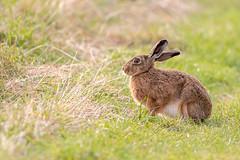 Hare (Gareth Keevil) Tags: blacktoftsands dusk garethkeevil grasslover hare humberhead mammal nikon nikond500 north notarabbit rspb reedbed sibling telephoto trentfalls uk yorkshire