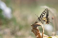 Machaon-Papilio machaon (PatNik01) Tags: papillon machaon papiliomachaon macro proxy bokeh chartreuse france nikon naturesauvage naturebynikon nature wild wildlife butterfly