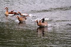 IMG_2708 (Simon M Hendry) Tags: suffolk england britain wildlife animal lackfordlakes suffolkwildlifetrust egyptiangeese goose gosling water lake swim