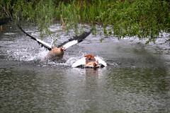 IMG_2689 (Simon M Hendry) Tags: suffolk england britain wildlife animal lackfordlakes suffolkwildlifetrust egyptiangeese goose gosling water lake swim fight splash wings fly