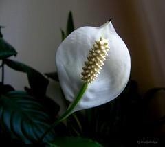Flower (galterrashulc) Tags: jugla rīga latvia latvija lettland riga olympus sp550uz irina galitskaya galterrashulc flowers nature flora green dark white leaves