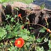 small red-orange morning glories, growing inside an old stump