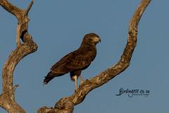 Brown Snake-eagle, Kameelpoort, Limpopo, Jul 2019 (roelofvdb) Tags: 142 2019 brownsnakeeagle date eaglebrownsnake eagles july kameelpoort limpopo place southernafricanbirds year