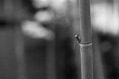 20190824 Jozanen 11 (BONGURI) Tags: 安城市 愛知県 日本 bw blackandwhite monochrome 白黒 モノクロ モノクローム tree bamboo 樹木 樹 木 竹林 竹 林 japaneseroom 和室 japanesehouse house 日本家屋 家屋 家 jozanen ishikawajozan 丈山苑 石川丈山 anjo 安城 aichi 愛知 nikon df afsnikkor85mmf18g