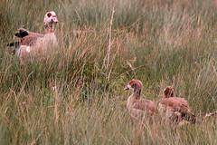 IMG_2722 (Simon M Hendry) Tags: suffolk england britain wildlife animal lackfordlakes suffolkwildlifetrust egyptiangeese goose gosling water lake swim