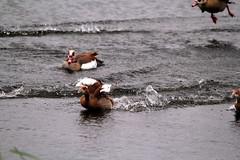 IMG_2714 (Simon M Hendry) Tags: suffolk england britain wildlife animal lackfordlakes suffolkwildlifetrust egyptiangeese goose gosling water lake swim