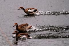 IMG_2713 (Simon M Hendry) Tags: suffolk england britain wildlife animal lackfordlakes suffolkwildlifetrust egyptiangeese goose gosling water lake swim