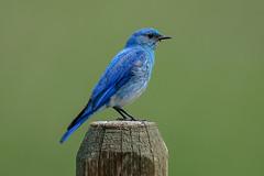 Mountain Bluebird (m) (Gf220warbler) Tags: idaho passerine songbird bluebird migrant