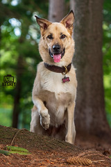 Picture of the Day (Keshet Kennels & Rescue) Tags: adoption dog dogs canine ottawa ontario canada keshet large breed animal animals kennel rescue pet pets field nature autumn fall photography root shepherd mix paw up raised raise forest woods happy smile