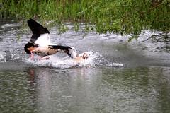 IMG_2691 (Simon M Hendry) Tags: suffolk england britain wildlife animal lackfordlakes suffolkwildlifetrust egyptiangeese goose gosling water lake swim fight splash wings fly