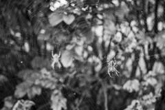 DSCF3234 (Piyushgiri Revagar) Tags: spider black scary insect web illustration arachnid halloween horror vector isolated white design nature fear danger creepy spooky silhouette spiderweb poison art cobweb animal bug background line element net tangled dark thread poisonous trap hanging dangerous corner network phobia arachnophobia venom sticky detail piyushgiri revagar kruti akruti 22