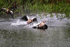 IMG_2687 (Simon M Hendry) Tags: suffolk england britain wildlife animal lackfordlakes suffolkwildlifetrust egyptiangeese goose gosling water lake swim fight splash wings fly