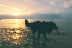 Totoro 🐺 (Jos Mecklenfeld) Tags: zonsondergang sonnenuntergang sunset noordzee nordsee northsea nederland niederlande netherlands noordholland callantsoog strand beach zee meer sea spielen spelen playing play hond hund dog schäferhund herdershond herder shepherddog shepherd hollandseherder dutchshepherd totoro