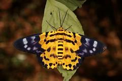False Tiger Moth (Dysphania militaris, Geometrinae, Geometridae) (John Horstman (itchydogimages, SINOBUG)) Tags: insect macro china yunnan itchydogimages sinobug entomology canon moth lepidoptera geometrinae geometridae yellow fb