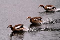 IMG_2711 (Simon M Hendry) Tags: suffolk england britain wildlife animal lackfordlakes suffolkwildlifetrust egyptiangeese goose gosling water lake swim