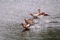 IMG_2710 (Simon M Hendry) Tags: suffolk england britain wildlife animal lackfordlakes suffolkwildlifetrust egyptiangeese goose gosling water lake swim
