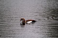 IMG_2704 (Simon M Hendry) Tags: suffolk england britain wildlife animal lackfordlakes suffolkwildlifetrust egyptiangeese goose gosling water lake swim
