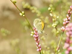 Dainty Sulphur (annette.allor) Tags: nathalisiole butterfly daintysulphur