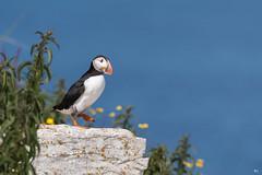 ''Le joyeux!'' Macareux moine-Puffin (pascaleforest) Tags: quebec canada île côtenord faune wildlife wild nature nikon passion bird oiseau