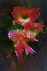 Gladiola (Dave Linscheid) Tags: flower summer texture textured butterfield watonwancounty minnesota usa