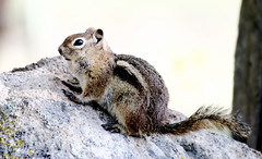 Golden-mantled Ground Squirrel (Spermophilus lateris); Santa Fe National Forest, NM, Thompson Ridge [Lou Feltz] (deserttoad) Tags: nature newmexico animal rodent mammal fauna squirrel groundsquirrel behavior young nationalforest mountain reflection