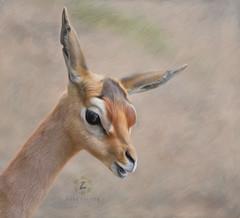 Juvenile Gerenuk (Zara Calista) Tags: litocranius walleri portrait gerenuk animal soft art texture artistic nature fauna brown hss