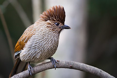 Striated Laughingthrush (Rajiv Lather) Tags: garrulaxstriatus striatedlaughingthrush bird birds birding birdwatching india indian fauna aves birder wildlife nature outside sylviidae image photograph photo photography forest himalayas himalayan jungle avifauna canon camera feathers trees avian garrulacinae pic light perch branch threads hills mountains sharpfocus vögel design white picture crest