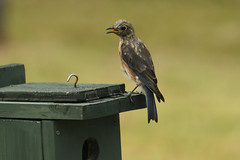 Eastern Bluebird (M. Coppola) Tags: easternbluebird sialiasialis pasco florida egretglade immature female