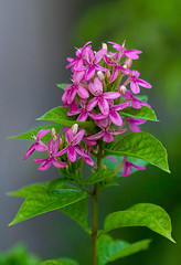 In the Pink (hasneyhassan) Tags: canon pink flowers green nature beauty thailand bangkok naturallight naturalbeauty minburi canon135mmf2l canon1dmarkiv