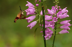 Clear Wing Moth (Diane Marshman) Tags: hummingbird clearwing moth burgandy wings body rusty brown black antennae large flying open wing pink purple tall perennial plant flower summer bloom bloomer spreading northeast pa pennsylvania nature garden obedient late blossoms band landscape