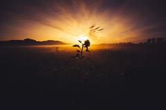 Good mornings start like this III (der_peste (on/off)) Tags: sunrise sunset morning sunflower clouds vignette nature mist fog mood orange blue yellow flower beautiful