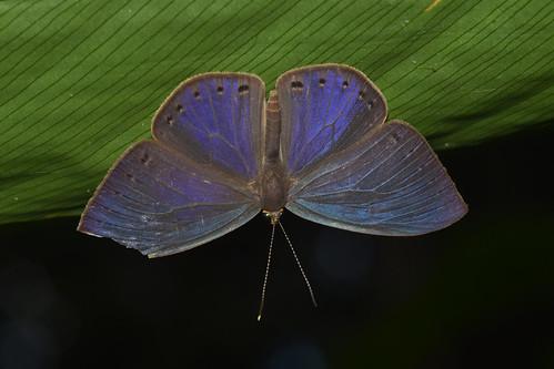Eurybia gonzaga