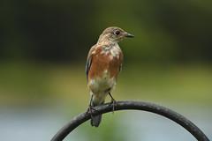 Eastern Bluebird (M. Coppola) Tags: easternbluebird sialiasialis pasco florida egretglade male immature